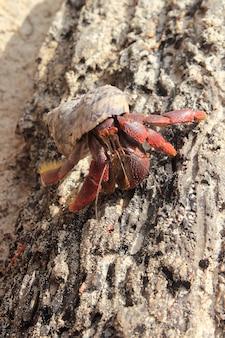 メキシコのビーチの砂の赤脚ヤドカリ