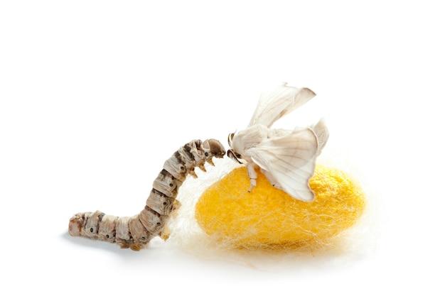 蝶カイコ繭蚕ワーム三段