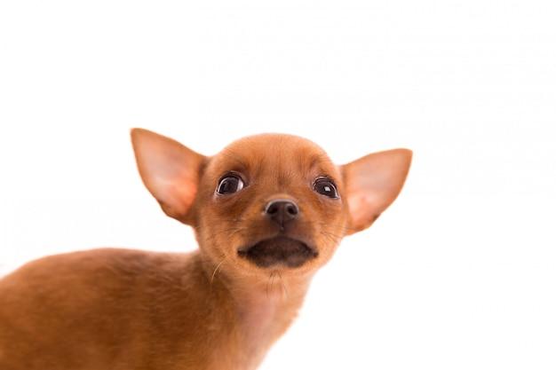 白のチワワ子犬ペット犬後背位の肖像画