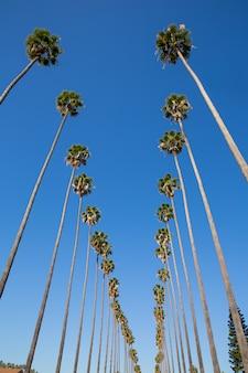 カリフォルニア州ロサンゼルスのヤシの木