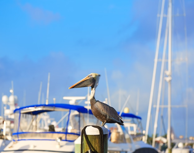フロリダ州マリーナのフォートローダーデールペリカン鳥