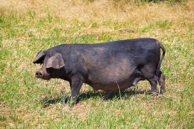 メノルカ島バレアレス諸島の黒豚屋外放牧