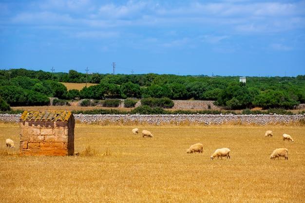 メノルカ羊の群れに乾燥黄金の牧草地