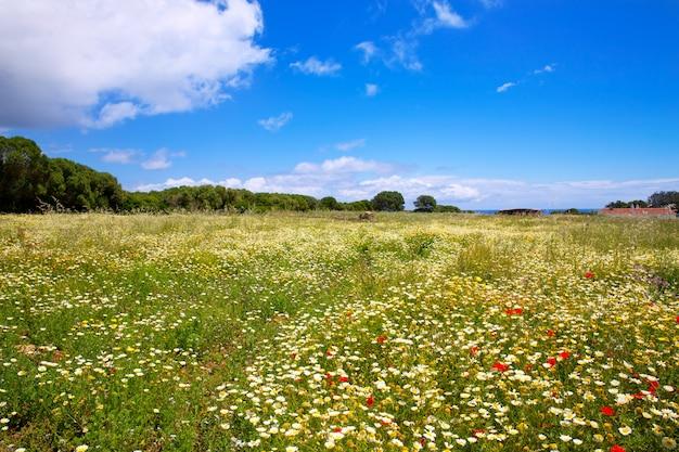 メノルカスプリングフィールド、ポピーとデイジーの花