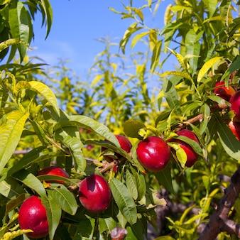 赤い色の木にネクタリン果実