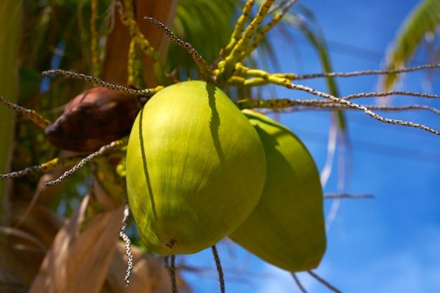 ヤシの木からぶら下がっているココナッツの果実