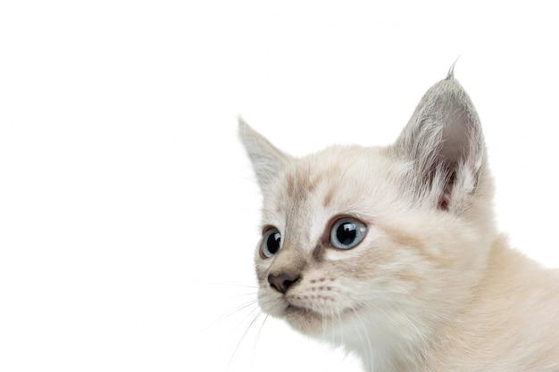 小さな子猫の肖像画のクローズアップの青い目