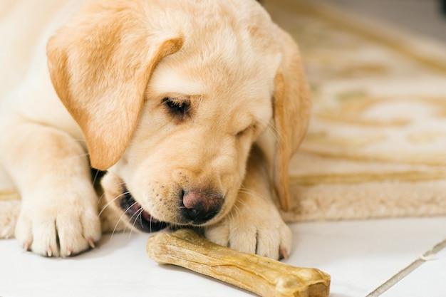 子犬の犬がおもちゃの骨を食べる
