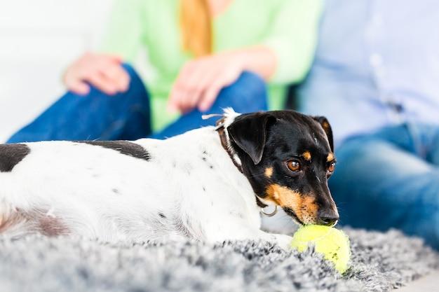 家族の犬が居間でボールで遊ぶ