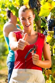 収穫時にぶどうを摘むワイン生産者