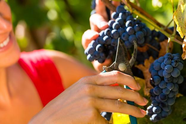せん断でブドウを選ぶ女性