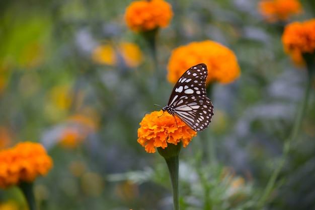 Бабочка на цветке календулы