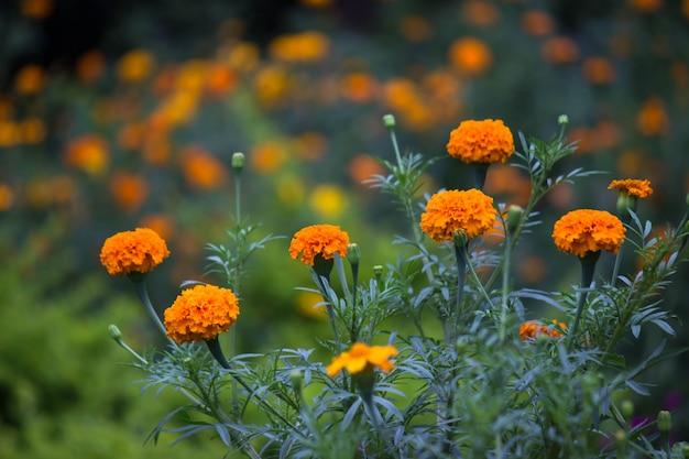 Цветы календулы расцветают далеко