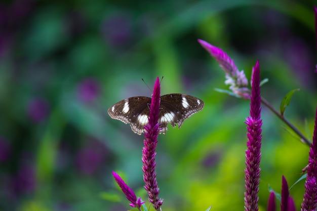 Воронская бабочка