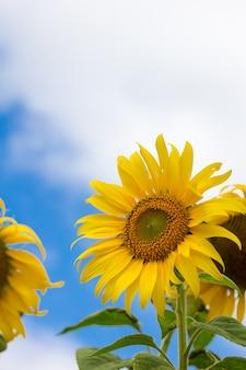 Крупным планом красивый цветок солнца