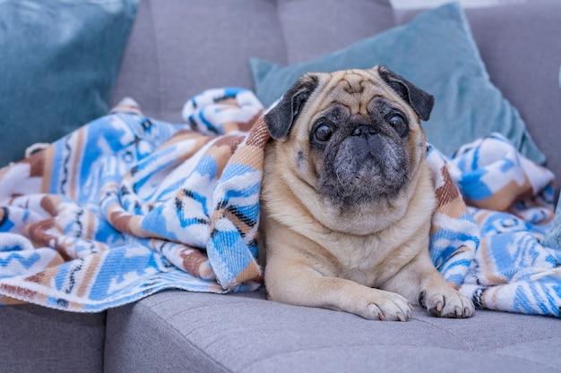かわいいパグは青い飾りの暖かい毛布に包まれています。