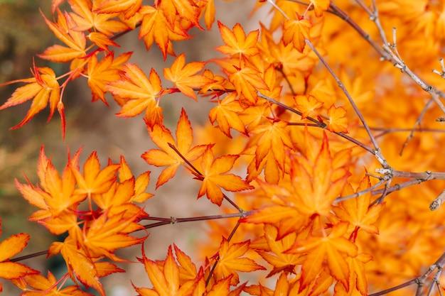 明るいオレンジ色の紅葉の枝。秋のコンセプトです。