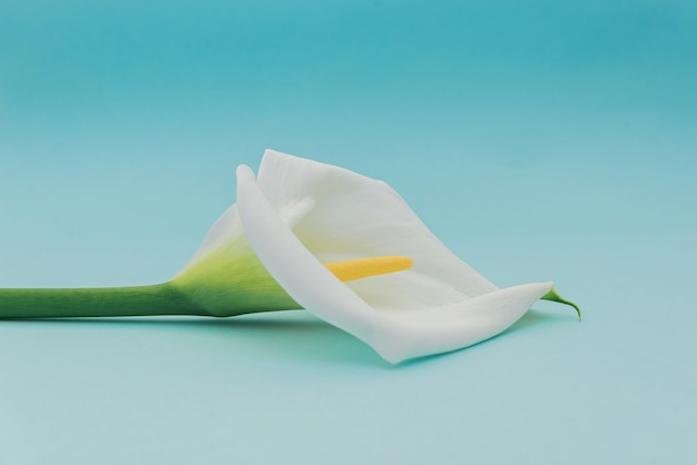 水色の壁に白いカラリリーの花。