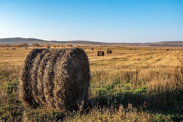 Рулон свежего сена на осеннем поле, корм для скота