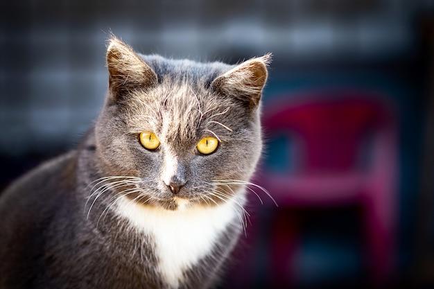 若いイギリスの灰色の猫は庭を歩く