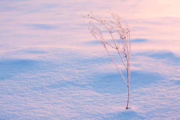 雪の中で乾いた植物
