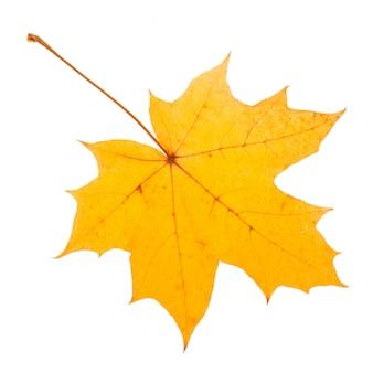 Желтый кленовый лист как символ осени.