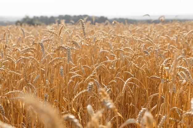 熟した黄色い小麦の耳。