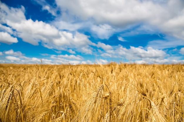 ゴールデン麦畑