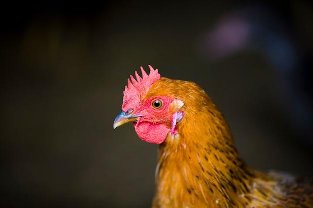 自然の中の農場で赤い鶏のクローズアップ。放し飼いの農場での鶏。