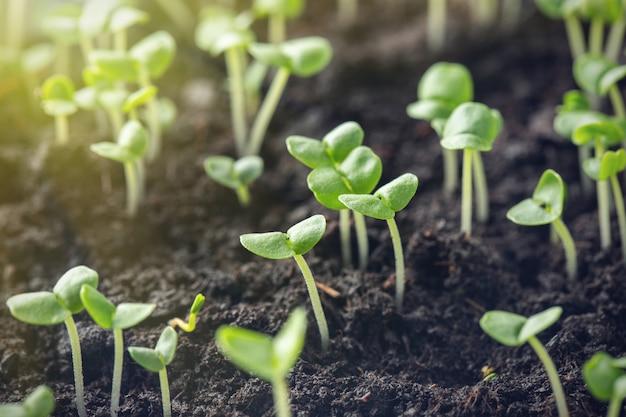 バジルの芽が地面に発芽している。