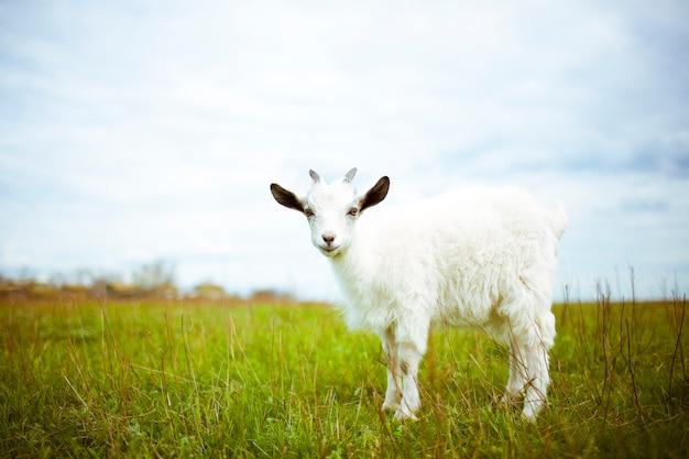 若いヤギが牧草地に放牧して笑っています。彼はカメラを覗きます。