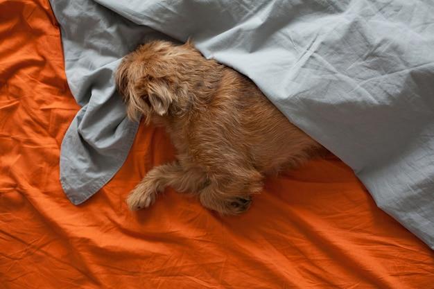 オレンジ色のシートで寝ている赤い犬。