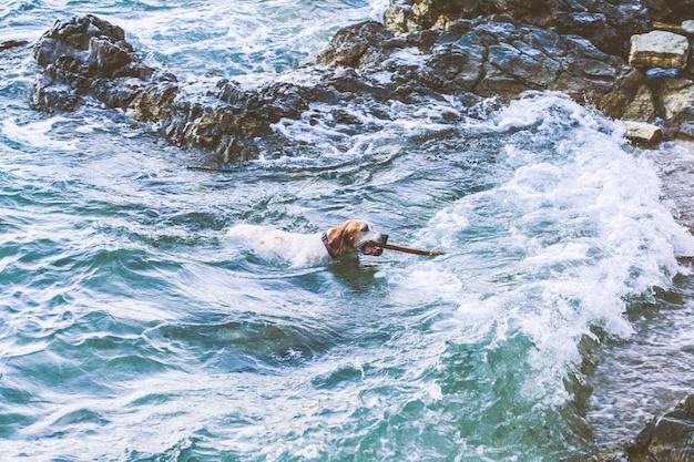 彼の歯に棒を持つ犬が海で泳ぐ