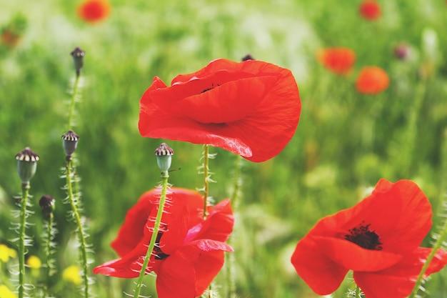 フィールドに咲く赤いケシ