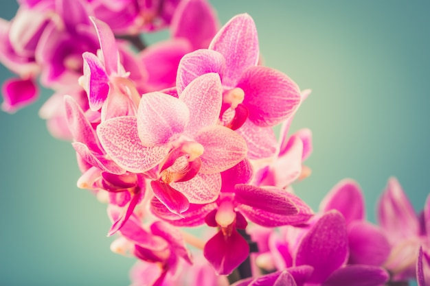 ピンク胡蝶蘭の花