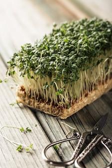 庭のクレス、若い植物。