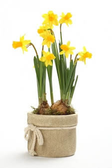 Нарцисс в цветочном горшке на белом фоне