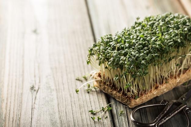 コショウソウ、若い植物。