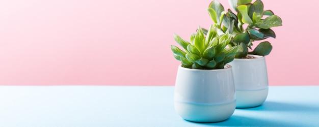 灰色の陶磁器の鍋で屋内植物多肉植物