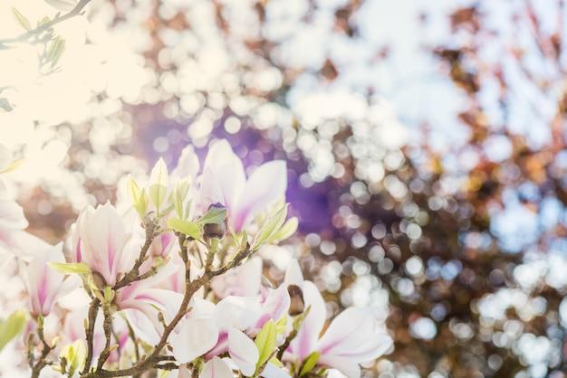Магнолия с цветущими цветами в весеннее время на английском языке