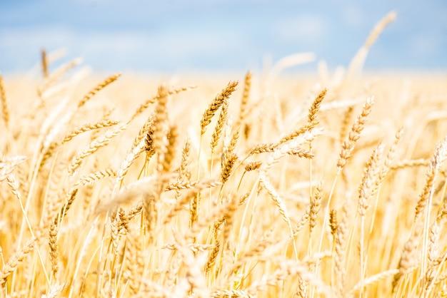 青い空と白い雲と麦畑
