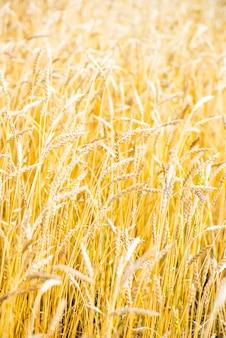 黄金の小麦畑をクローズアップ