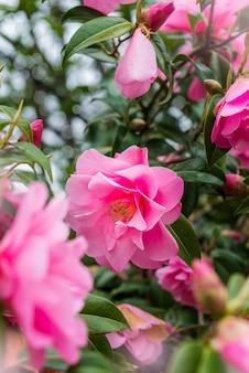 美しい鮮やかなピンクのカメリアの花