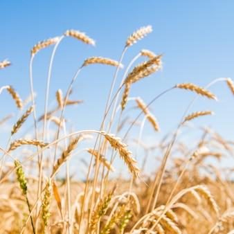 黄金の小麦畑の秋の風景