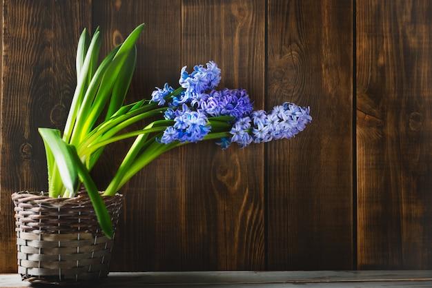 鍋に紫のヒヤシンスの花