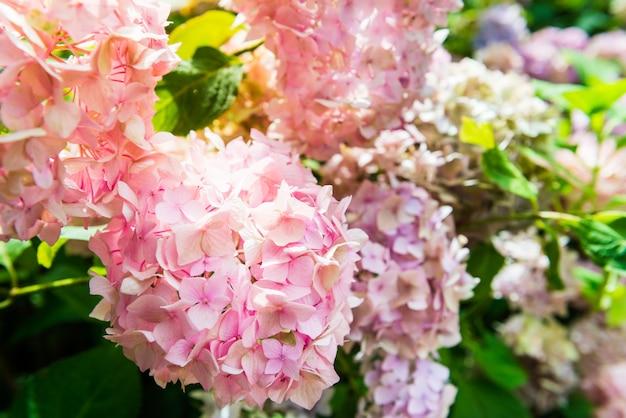 Цветы гортензии в саду