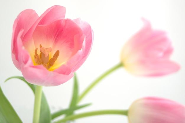 ピンクのチューリップは白い背景の上クローズアップ。