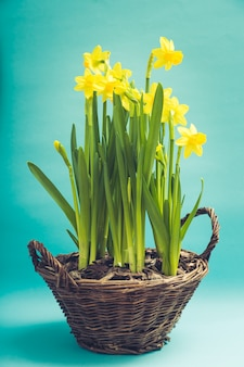 バスケットの素晴らしい黄色い水仙の花。春の背景の画像