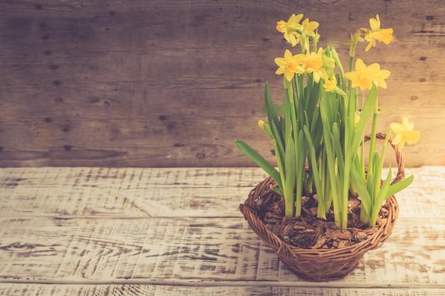 Удивительные желтые нарциссы цветы в корзине. изображение для весеннего фона
