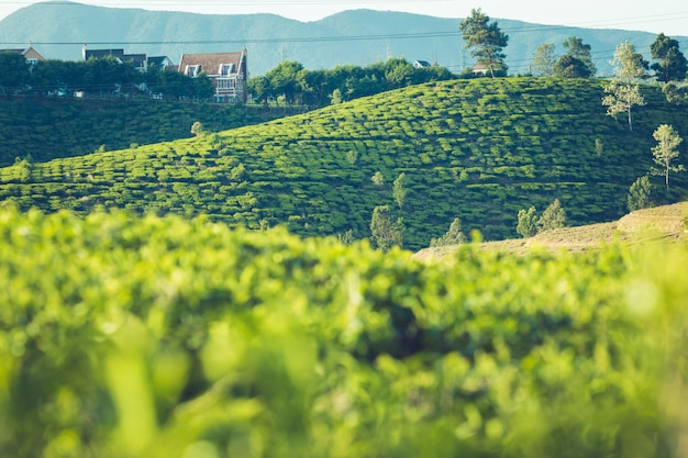 セイロンの美しい風景。田んぼと茶畑